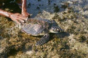 man's hands, turtle, reef